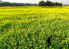 in yellow land.. (auniket prantor) Tags: flowers light flower color green nature girl beautiful beauty field grass yellow female rural children landscape golden living nice flora scenery asians looking natural farmers blossom outdoor path background live farming harvest scenic lifestyle goat running run scene farmland palm human smiley attractive bloom mustard buds crops pollen persimmon lovely charming agriculture bangladesh magnificent goo cultivation attraction carrying delightful flourish bengali bengalis developing oilseed growers bangali bangladeshis pleasing districtexquisite seasonsmile