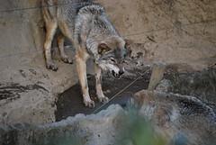 オオカミ(Gray wolf)