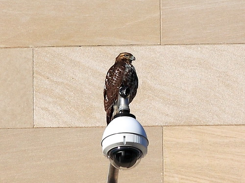Hawk at FTC Apex Building