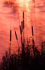 The Burning Rushes (Fly bye!) Tags: sunset water silhouette reeds rushes mere bullrushes marbury bigmere
