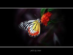 butterflies and flowers #4 [explored] (e.nhan) Tags: life flowers light red black flower art nature yellow closeup landscape spring colorful colours shadows dof bokeh arts butterflies vietnam backlighting enhan mywinners abigfave