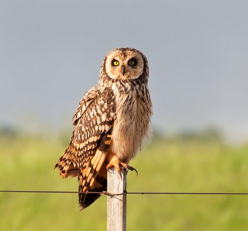 [フリー画像] 動物, 鳥類, フクロウ科, コミミズク, 201101140500