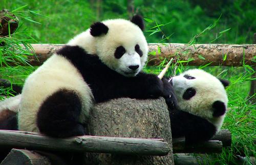 Pandabären in der Aufzuchtstation Wolong