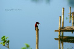 Patience of a Kingfisher [EXPLORED] (avipatra {Busy}) Tags: blue india fish green bird water dedication composition concentration fishing wb kingfisher bengal kookaburra patience howrah fishingbird bumboo santragachi avipatra
