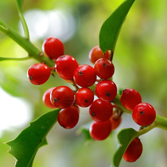 Red berries of an European Holly tree. (Bienenwabe) Tags: autumn macro berry berries holly hollytree redberries ilex ilexaquifolium europeanholly aquifofliaceae stechhlse stechplame toxicberries