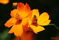cosmos flower #7 [explored] (e.nhan) Tags: flowers light flower yellow closeup colorful colours dof bokeh bee cosmos backlighting enhan