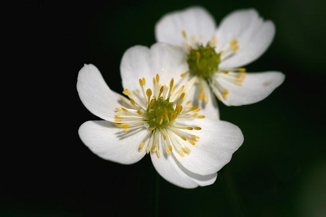 Ranunculus aconitifolius, NGID1618692510