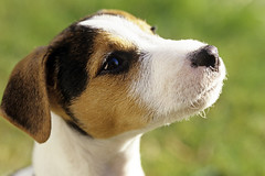 Jack Russell Terrier (Jim Corwin's PhotoStream) Tags: portrait dog pet cute male animals horizontal puppy outdoors photography one wildlife canine nobody attitude terrier domestic single pup breed jackrussellterrier alert domesticated domesticdog animalthemes parsonterrier domesticateddog