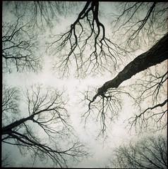 Vertical Dance (BunnySafari) Tags: trees tlr film dance branches sculptural upwards yashicaa skywards 100photos