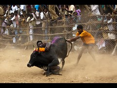 Jallikattu is based on the simple concept of flight or fight or sometimes freeze