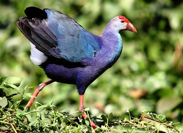 2011_01_15_011053 Purple Moorhen cs3 crop