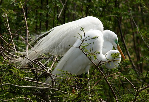 Great Egrets - 4/16/2010
