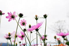 20110118_0467_花東縱谷_富里花海