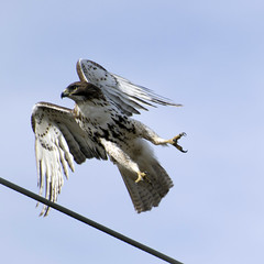 Red-Tail Hawk (Randy 54) Tags: birds hawk predators largebirds d3100