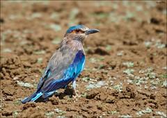 Indian Roller (Gurusan2010) Tags: birds tamilnadu tenkasi westernghats indianroller coraciasbenghalensis eos400d canoneos400d tamilnadubirds sigma120400