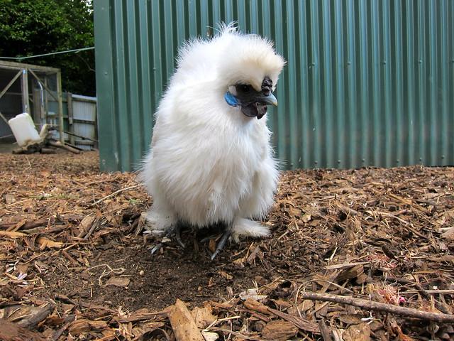 Funky White Baby Bird