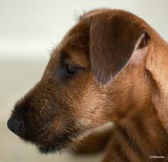 Newest member of the clan. Irish Terrier 'Finley'.1 (Chillibones) Tags: dog puppy nikon terrier irishterrier nikkor 35mm18 d300s