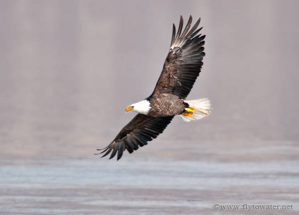 Bald Eagle Sight Fishing