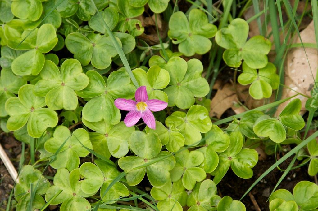 pink oxalis  269