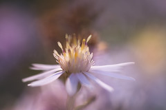 beyond the ocean (life in mosquito's pit) Tags: rot aster flower dof blur soft focus macro nature plant natural centred pink yellow