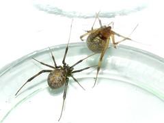 Theridiidae>Latrodectus geometricus Brown Widow spider Female 11230064 (Bill & Mark Bell) Tags: exmouth westernaustralia australia geo:town=exmouth geo:state=westernaustralia geo:country=australia geo:lon=11425453egeolat2217752sgeoalt8m 11425453e2217752salt8m taxonomy:kingdom=animalia animalia taxonomy:phylum=arthropoda arthropoda taxonomy:class=arachnida arachnida taxonomy:order=araneae araneae taxonomy:family=theridiidae theridiidae taxonomy:genus=latrodectus latrodectus geometricus taxonomybinomialnamelatrodectusgeometricus latrodectusgeometricus taxonomycommonnamebrownwidowspider brownwidowspider spider