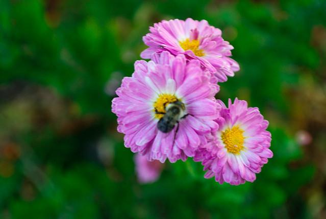 macro bee on flower