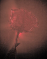 Roses are Red (Samir ..lll..) Tags: light red flower color nature rose closeup dark sketch cool mood moody artistic grain atmosphere explore single drama lightroom vibrance