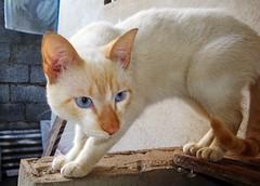 The Scare (Lucas Brigido) Tags: cat blueeyes gato whitecat olhosazuis gatobranco kissablekat bestofcats