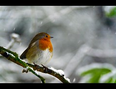 Christmas card? (_K7_5850) (Ross G. Strachan Photography) Tags: christmas november winter snow cold tree bird robin birds scotland early branch fife wildlife card dunfermline