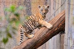 [フリー画像] 動物, 哺乳類, ネコ科, 虎・トラ, 201012011100
