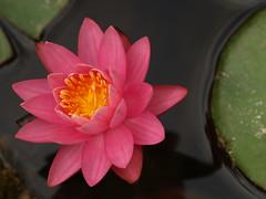 Nenfar fucsia (Nymphaea) (Javier Garcia Alarcon) Tags: flowers flores flower flor amarillo nymphaea nenuphar nenfar nenfaramarillo