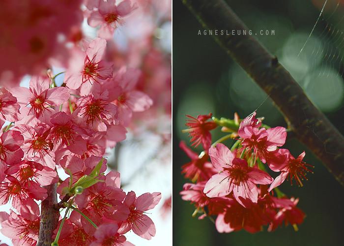 Sakura in Sydney Botanic Garden