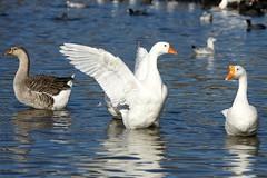 White Rock Lake 112710 785 (Shutter_Hand) Tags: usa white lake bird blanco lago geese dallas texas sony pssaro goose ave loch pajaro alpha aus 700 oiseau vogel pjaro uccello  whiterocklake ganso chinesegoose  sunsetbay   miguelmendoza sonyalpha700 lenscraft sony70300mmf4556gssm sony70300mmf4556gseriestelephotolens sony70300mmf4556gserieszoomlens gansochino