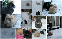 snow bunnies (Deirdre Snook) Tags: snow bunnies collages rabbits houserabbits lionheads