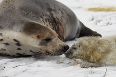 Motherly Concern (charlotte.morse) Tags: snow lincolnshire seals donnanook charlottemorse