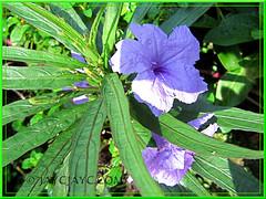 Ruellia brittoniana 'Dwarf Purple' or 'Katie'