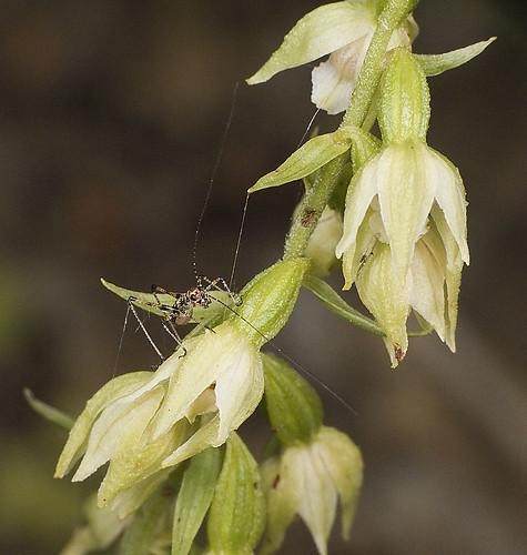 Orchidées et... sauterelles 5227152744_cf3dec9c70
