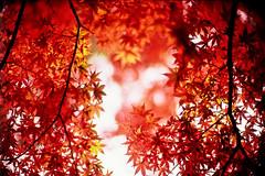 remembrance (moaan) Tags: life leica november autumn red color 50mm glow dof bokeh f10 momiji japanesemaple kobe utata rokko glowing mp noctilux hue tinted 2010 fujivelvia100 tinged rvp100 leicamp autumnaltints inlife leicanoctilux50mmf10 再度山公園 diaryofnovember gettyimagesjapanq1 gettyimagesjapanq2