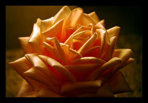 Rose002