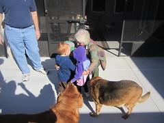IMG_4765 (drjeeeol) Tags: dog pet baby yard backyard katie tiger charlie will triplet rhodesianridgeback monkee 2010 26monthsold