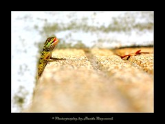 One Step at a Time (Bugalugsrox) Tags: macro nature thailand leaf reptile lizard step phuket