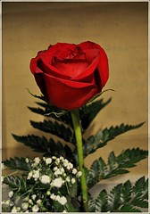 A rose is a rose is a rose (KT of Lake Orion) Tags: rose week51 themered 525weeksoftwentyten