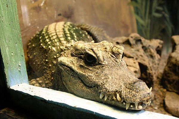 Crocodile at the Wildlife World Zoo
