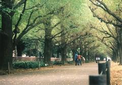神宮前の銀杏並木