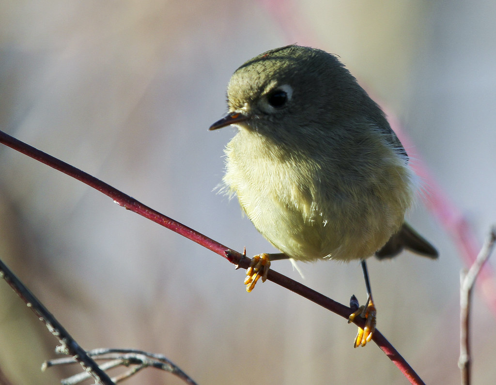Ruby-crowned Kinglet (Regulus calendula) on Red Twig