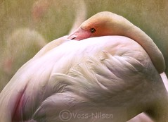 Flamingo (Voss-Nilsen) Tags: pink bird texture birds animal animals flamingoes flamingo rosa filter fugl textured fugler dyr phoenicopterus roseus flamingoer flickrunitedaward