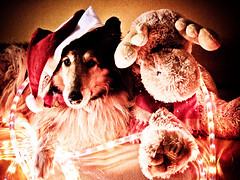 my deeAr Friends merry xmas (51/52) (Hermio-Black) Tags: xmas dogs collie candy deer lassie thelittledoglaughed impressedbeauty