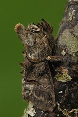 Abrostola tripartita - Brandnetelkapje (henk.wallays) Tags: macro nature up garden close wildlife moth papillon noctuidae nuit mot nachtvlinder lepidoptere abrostola tripartita brandnetelkapje 20100830thuis