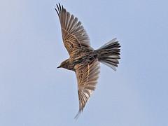 Skylark, Sheringham (Norfolk), 2-Oct-10 (Dave Appleton) Tags: bird birds norfolk sheringham skylark lark arvensis passerine alaudaarvensis alauda