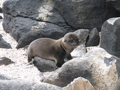 Baby Sea Lion, Puerto Suarez on Isla Espanola